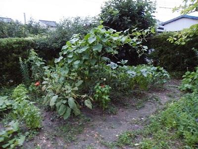 2010年7月30日の家庭菜園の様子
