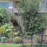 Gardening 2010, Part Three - 101_5351.JPG