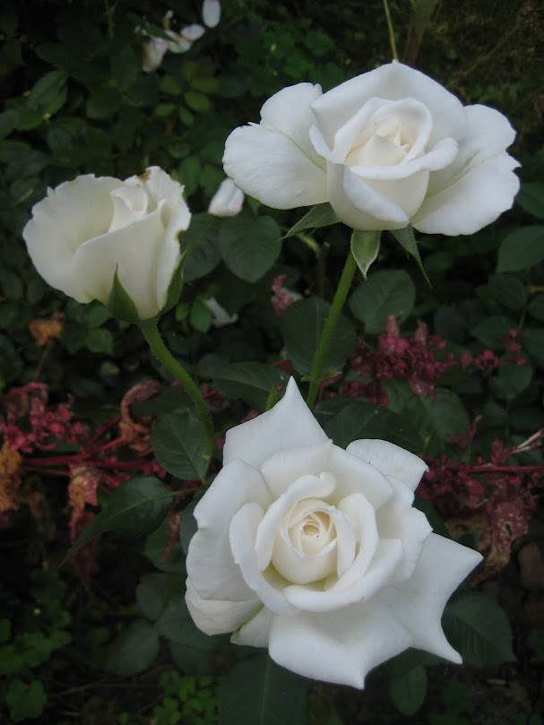 Роза аннапурна энциклопедия роз