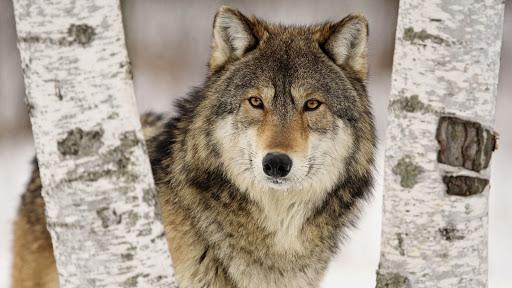 Intense Stare, Wolf, Minnesota.jpg