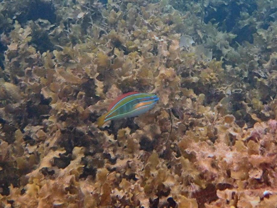 Stethojulis trilineata (Four-line Wrasse), Sand Island, Palawan, Philippines.