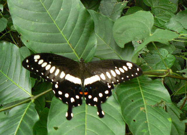 Papilio lormieri lormieri DISTANT, 1874. Ebogo (Cameroun), 27 avril 2013. Photo : C. Renoton