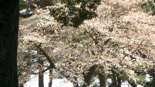 小田原城桜三分咲き