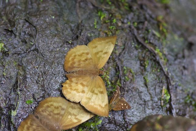 Achlyodes pallida (R. FELDER, 1869). Piste de Gualchan à Chical, 1900 m (Carchi, Équateur), 22 novembre 2013. Photo : J.-M. Gayman