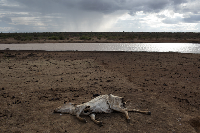 The sight of dead cattle is common at Ol Maisor Ranch in Laikipia, Kenya. Photo: Tyler Hicks / The New York Times