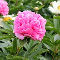Carnation Bouquet 29-05-2015