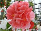 明桃色地 濃桃色縦絞り 牡丹〜バラ〜千重咲き 大輪