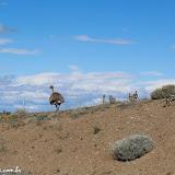 Ema com uns 10 filhotes, Ruta 40 para El Chaltén, Argentina