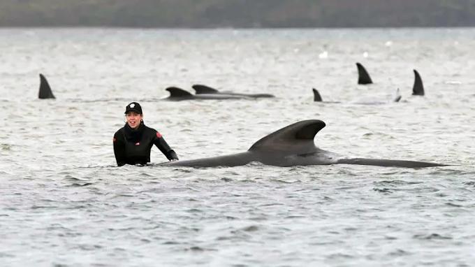 Más de 380 ballenas muertas en el peor evento masivo de ballenas varadas de los últimos cien años