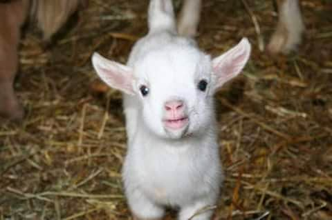 Baby Goat Photos For Whatsapp