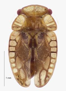 Xenophyes adelphus (Hemiptera: Peloridiidae). Photo BE Rhode.Citation: Larivière M-C, Burckhardt D, Larochelle A. 2011. Peloridiidae (Insecta: Hemiptera: Coleorrhyncha). Fauna of New Zealand 67. 78 pp. http://www.biotaxa.org/fnz/issue/view/431