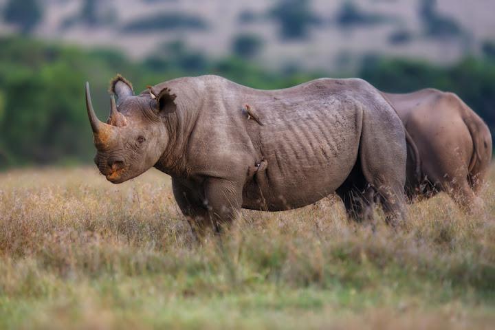 Black Rhino, Ol Pejeta Conservancy, Kenya