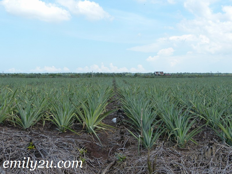 Kampung Kundang pineapple plantation