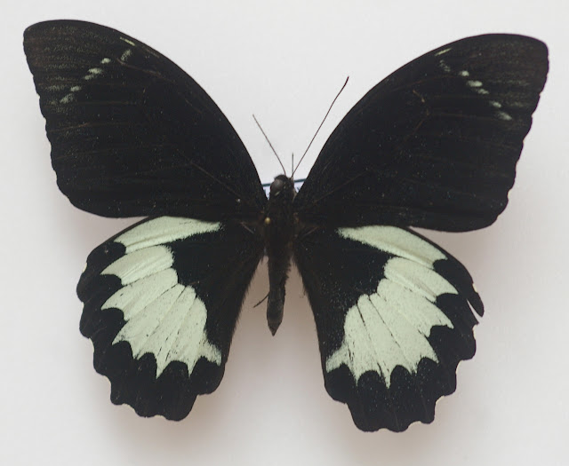 Papilio aegeus ormenus GUÉRIN-MÉNEVILLE, 1831, mâle. Warkapi, Arfak, 27 août 2007. Photo : J.-M. Gayman