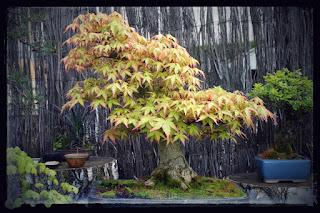 Acer Palmatum penché reconstruis par une taille drastique et greffage