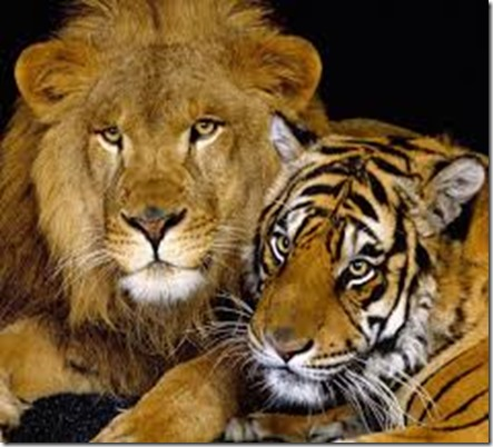 lion_with_tiger