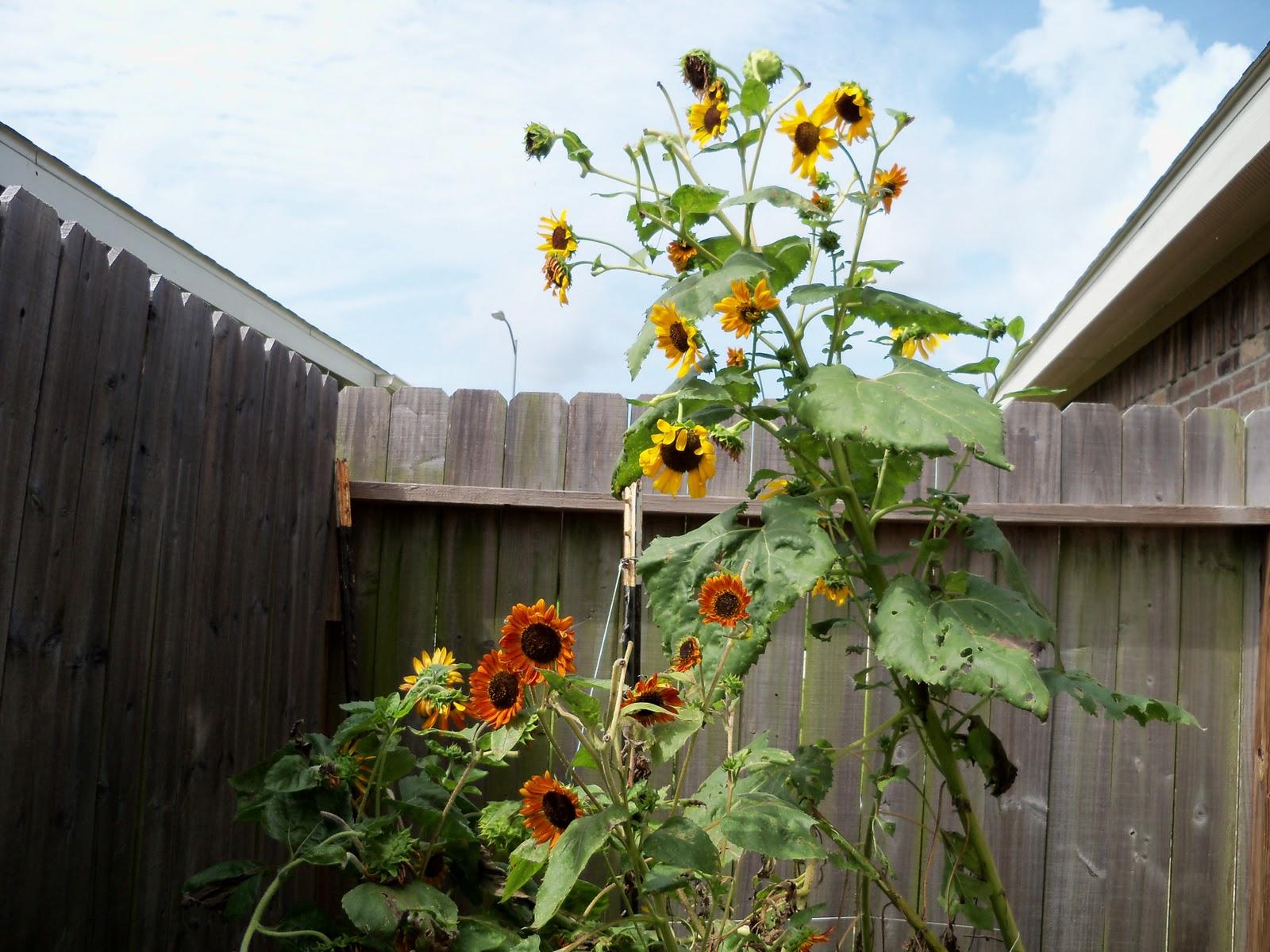 Gardening 2010, Part Three - 101_5269.JPG