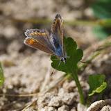 Polyommatus icarus icarus (ROTTEMBURG, 1775), femelle. Les Hautes-Lisières (Rouvres, 28), 25 août 2012. Photo : J.-M. Gayman