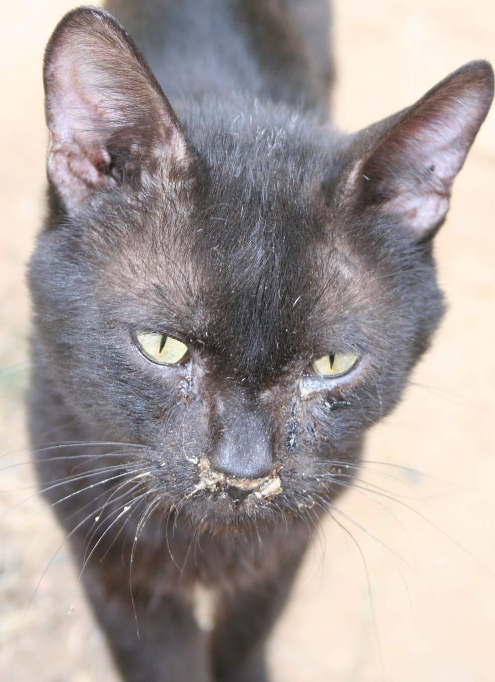 Upper Respiratory Infection In Black Cats Pictures