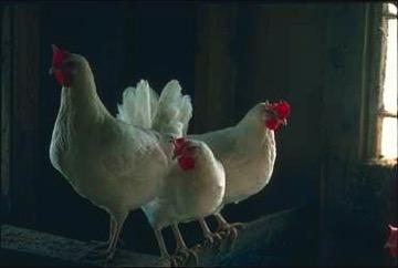 Chickens cg