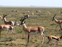Grants Gazelle (big) - Northern Circuit Safari - Serengeti