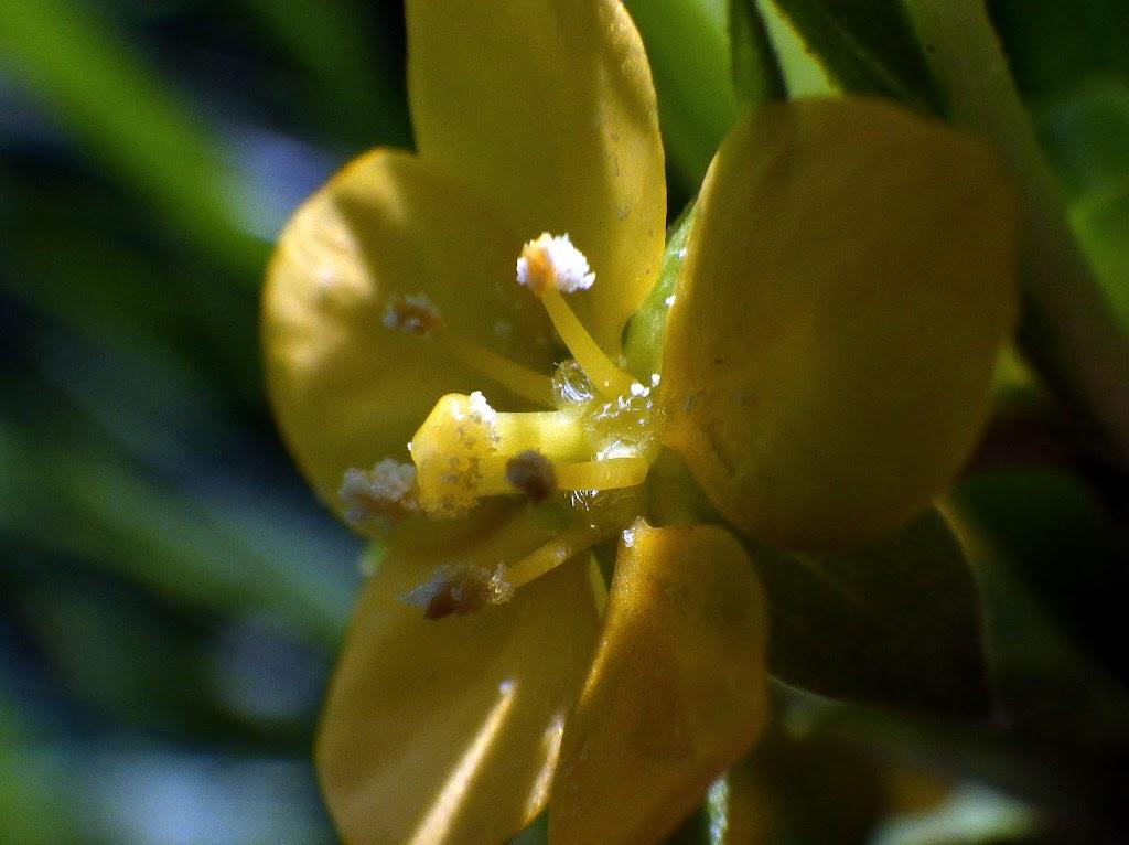 ウスゲチョウジタデ、花床の毛1