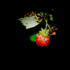 Wild Strawberry by Rebecca OMahen - Nature Up Close Other Natural Objects ( fruit, strawberry )