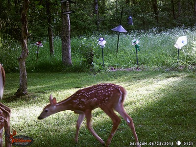 June 23 Two fawns