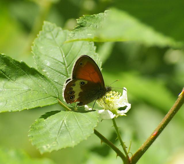 Coenonympha arcania LINNAEUS, 1761. Combe de l'Air, Forêt de Châtillon (Côte-d'or), 16 juin 2007. Photo : J.-M. Gayman