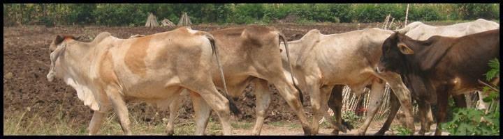 วัวข้างทาง