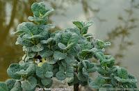 Salix 'boydii' - Wierzba Boyda
