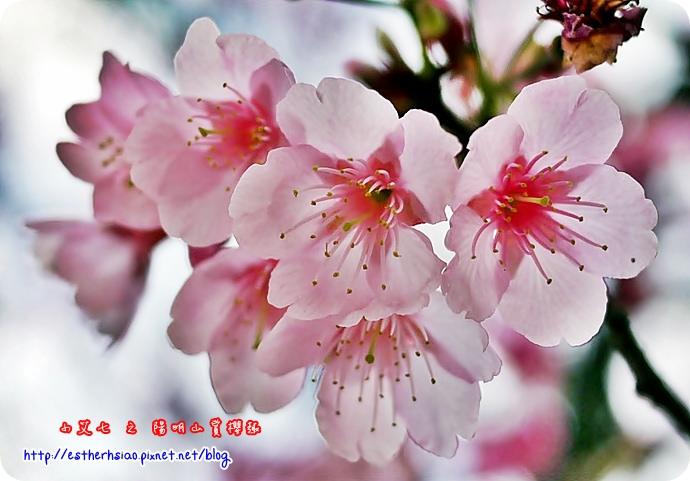 78 平菁街42巷櫻花樹