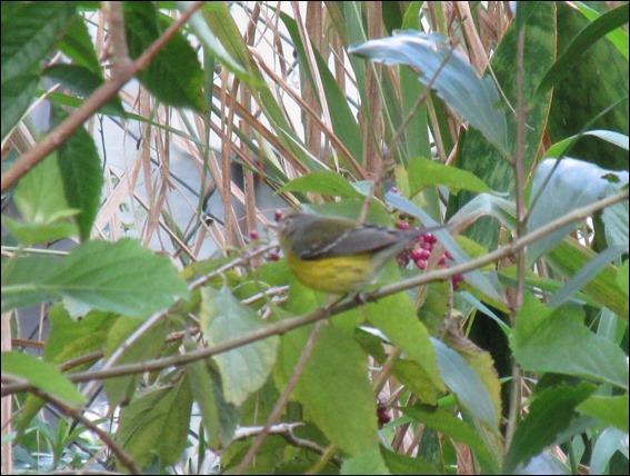 Magnolia Warbler Bird (3)