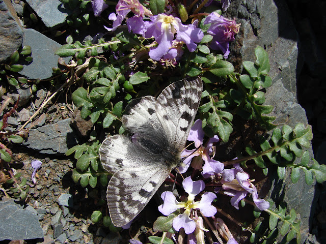 Parnassius patricius uzyngyrus WEISS, 1979, Alabel Pass, 28 juin 2006. Photo : E. Zinszner