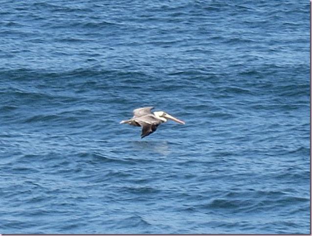 pelicanIMG_7179