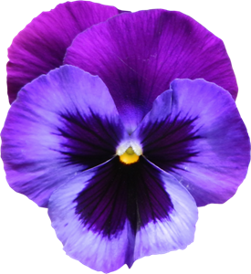Large_Transparent_Purple_Violet_Flower_PNG_Clipart[19]