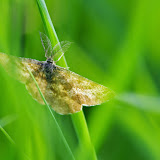 Geometridae : Ennominae : Ematurga atomaria (L., 1758), mâle. Les Hautes-Lisières (Rouvres, 28), 4 mai 2013. Photo : J.-M. Gayman