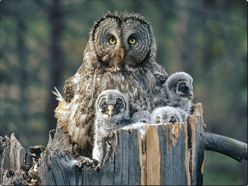 Great Gray Owl With Owlets.jpg