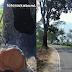 Pohon Mahoni Tepi Jalan Palabuhanratu - Surade Mengancam Pengguna Jalan