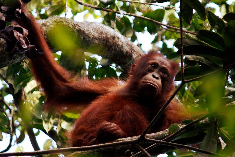 Una cría de orangután en Tanjung Harapan