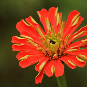 Red beauty by Srivenkata Subramanian - Flowers Single Flower ( red, nature, green, india, shimla, flower,  )