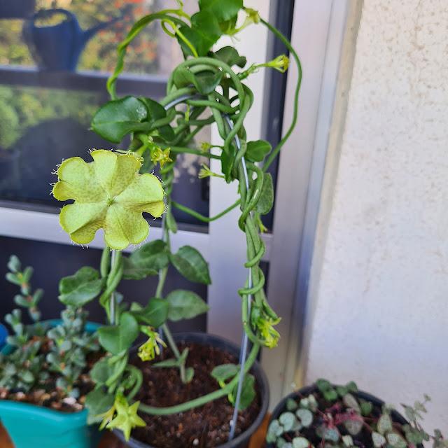 Ceropegia sandersonii - Planta Paraquedas