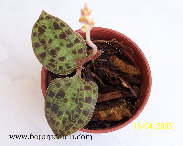 Macodes petola, Jewel Orchid