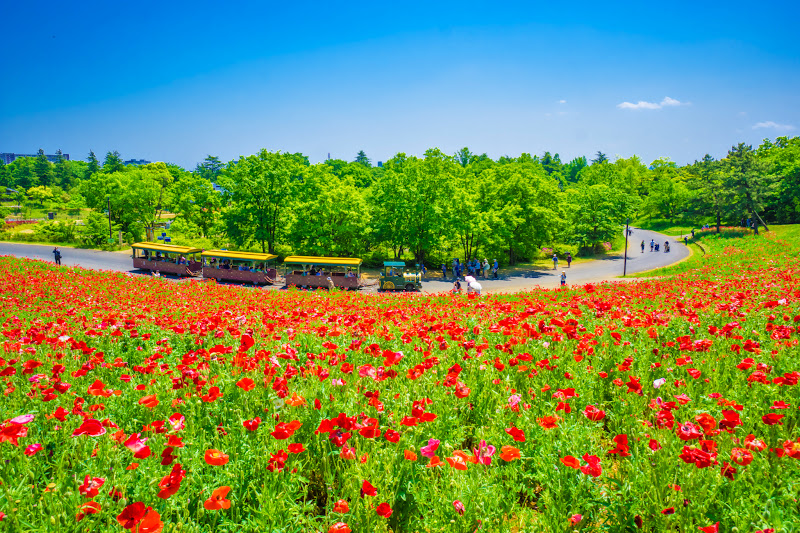 Showa Kinen Park Shirley poppy photo10