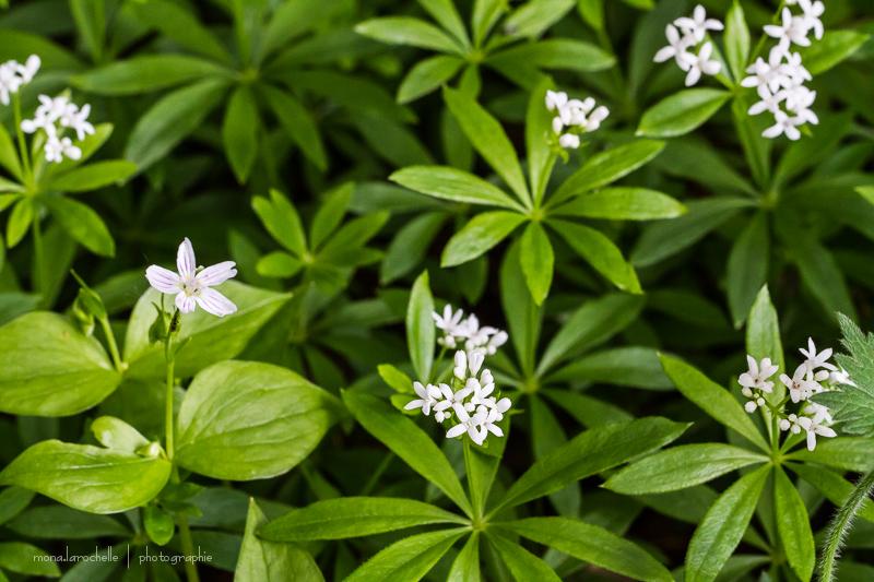 Claytonia sibirica et Asperula odorata des couvre-sols d'ombre efficaces. Asperula-odorata-130603-118rm