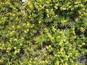 Alchemille des Alpes Alchemilla alpina Rosacees.JPG