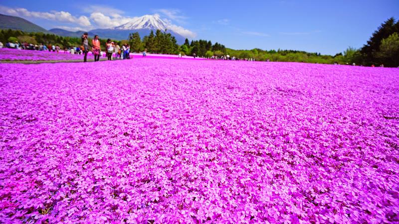 富士芝桜まつり 写真21