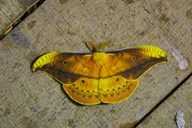 Saturniinae : Copaxa syntheratoides W. Rothschild, 1895, mâle. Mount Totumas, 1900 m (Chiriqui, Panamá), 26 octobre 2014. Photo : J.-M. Gayman