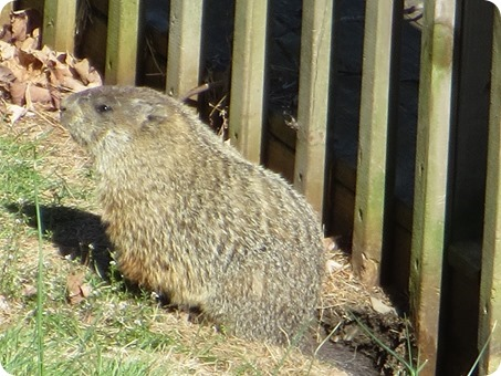 The resident groundhog
