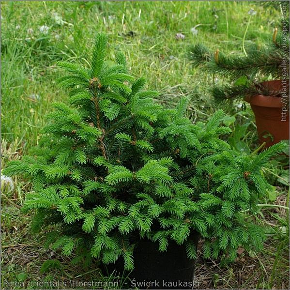 Picea orientalis 'Horstmann' - Świerk kaukaski pokrój z majowymi przyrostami